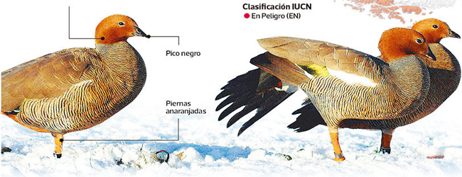 La dramática desaparición de emblemática ave patagónica chilena